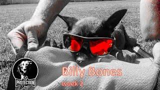 Belgian Malinois Training Billy Bones week 2