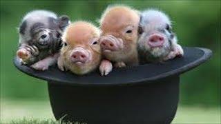 【爆笑間違いなし】おもしろ動物ハプニング集 Vol.98【子豚のお食事】 h...