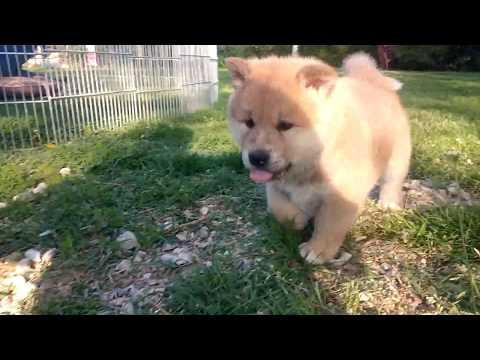 Akita Inu puppies - 5 weeks old