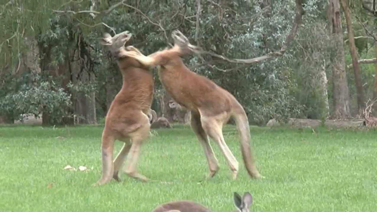 Kangoro