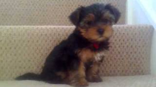 Happy Feet Rosie Yorkshire Terrier Puppy