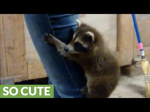 Raccoon Reunites With Rescuer After Year Apart