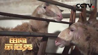 《田间示范秀》 20200424 养好湖羊从羔羊抓起|CCTV农业