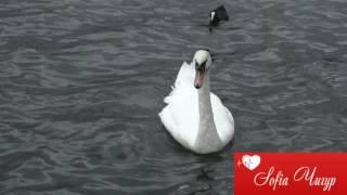 Sofia Прекрасный лебедь