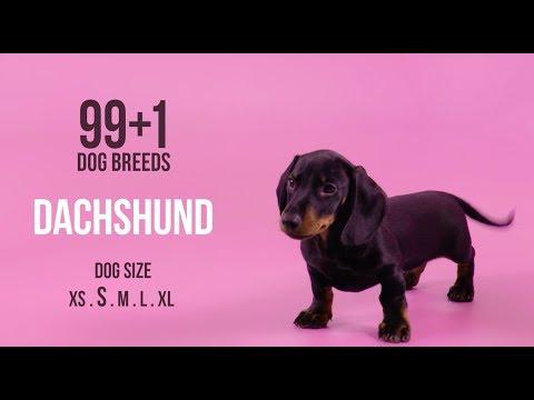 Dachshund / 99+1 Dog Breeds