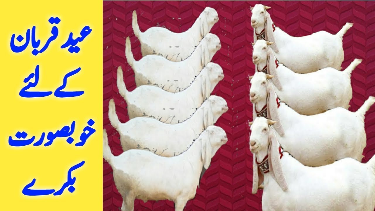 Goat For Eid Qurban | beautiful Goat for Qurbani price | rajanpuri bakra  Qurbani