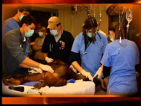Cleveland zoo orangutan gets birth control implant