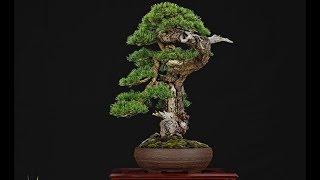 ✅  Pinus sylvestris Bonsai by Francesco Santini