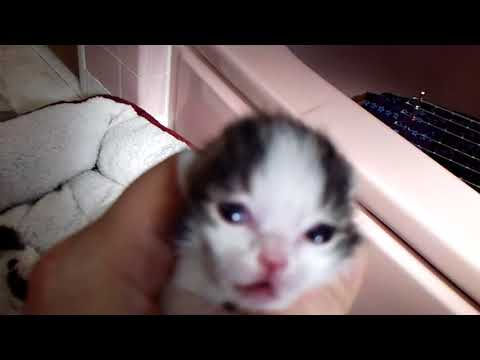 KayDee's Boys - 05/10/18 - Japanese Bobtail Kittens