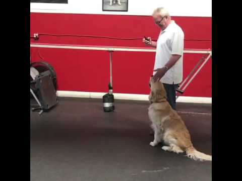 14 month old Golden Retriever learning in class