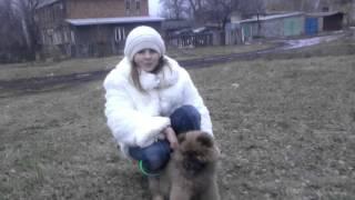 Чау чау моя собака любимая милка