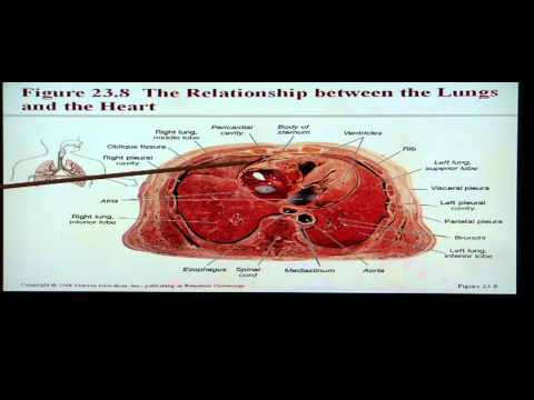 Anatomy and Physiology Help: Chapter 23 Respiratory System