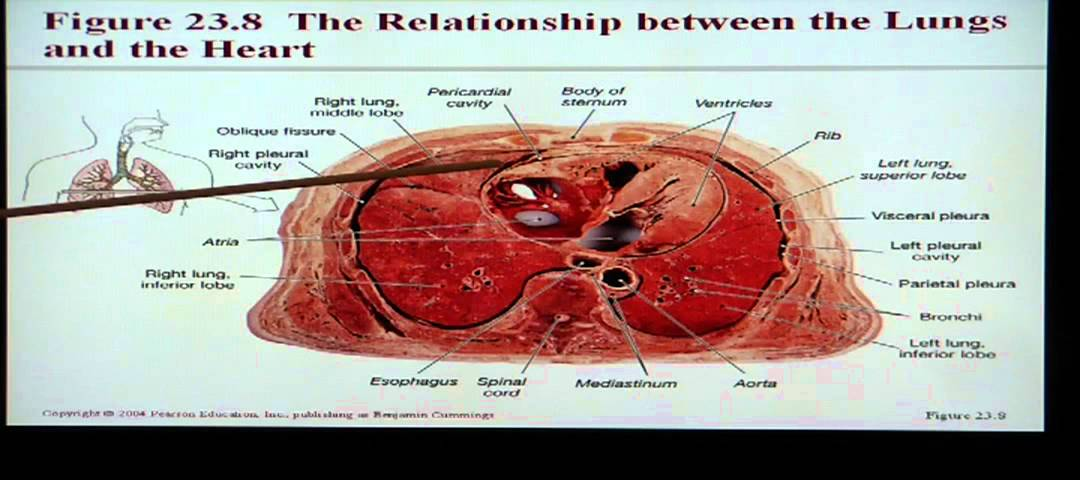 Anatomy And Physiology Help Chapter 23 Respiratory System Youtube