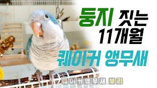 둥지짓는 퀘이커 앵무새 ~~ 내 취미는 집짓기!!