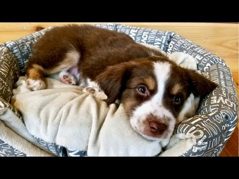 First Day w/Our Australian Shepherd Puppy (Tanner)