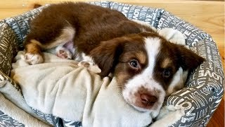 First Day w/Our Australian Shepherd Puppy (Tanner)
