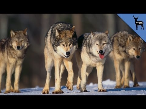 How Wolves Organize To Kill