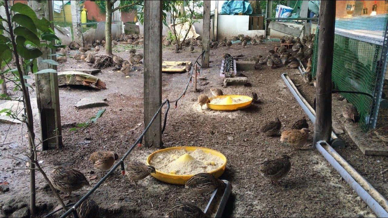 Đầu ra nào cho mô hình nuôi chim cút thả vườn cho ăn trùn quế