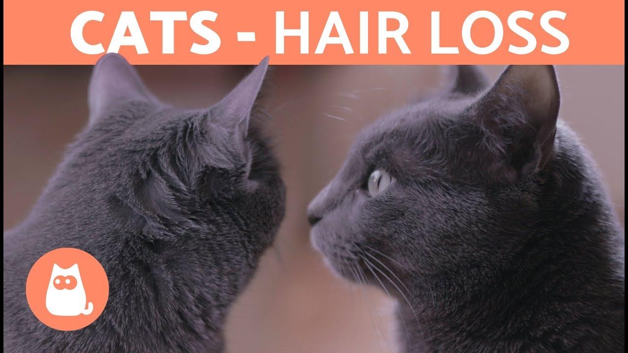 Cat hair loss: Causes & Treatment