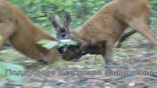 Битва диких оленей в лесу fight of wild deer