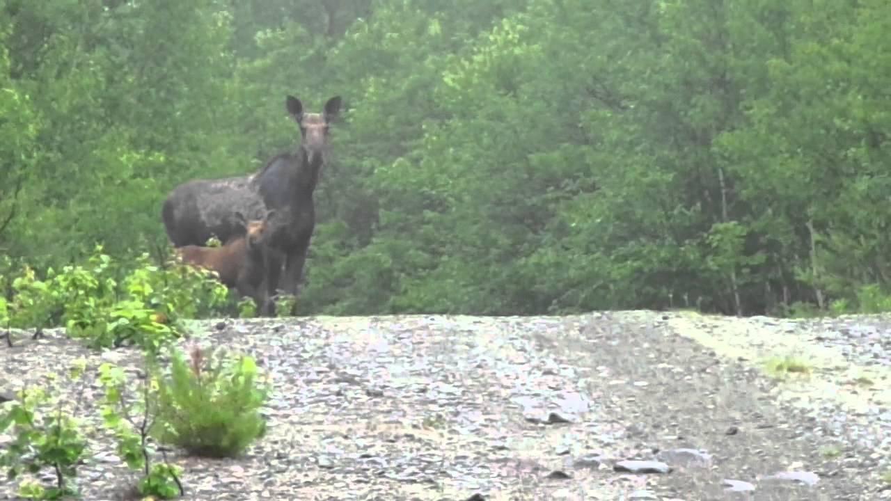 Who's Afraid of the Big Bad Moose? - International ...