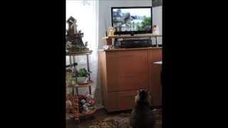 Как наша кошка смотрит телевизор