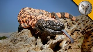 The Gila Monster - AMAZING Venomous Lizard Encounter!