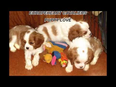 Europeheart Cavalier King Charles Spaniels - Puppy Love - part one