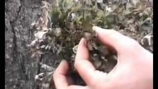 видео Цетрария исландская / Исландский мох (лопостянка) Cetraria islandica