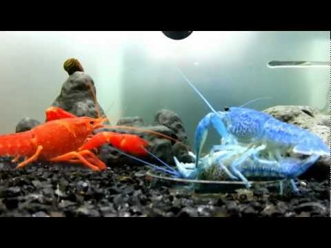 Peep At Crayfish Mating