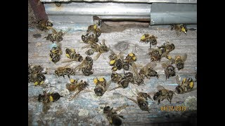 Потрава пчел , рапс , 2019 ...