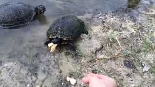 Hand Feeding Wild Pond Turtles