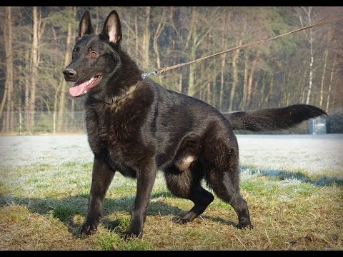 zyk-german-shepherd---protection-inside-and-outside