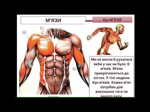 М'язи