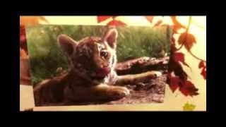 facts about tigers for kids | Tiger facts
