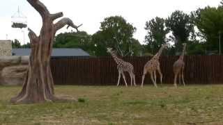 Żyrafy na wybiegu - ZOO Zamość