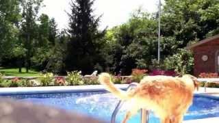 Golden Retrievers Jumping Off Diving Board
