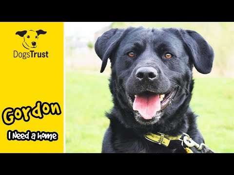 Gordon is a Gorgeous Lab Cross Looking For a Home! | Dogs Trust Glasgow