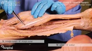 De la pierna posterior musculos vision