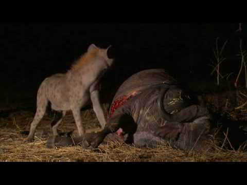 Lions tormented