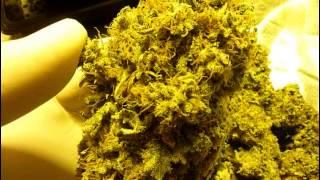 Sannies seeds Mad Kush harvest