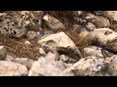 Residents of Bracken Cave: Snakes