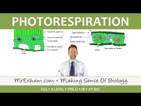 C3 and C4 Plants - Photorespiration - Post 16 Biology (A Level, Pre-U, IB, K-12)