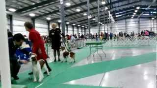 Chain O' Lakes Kennel Club  Dog Show Welsh Springer Spaniel 1/25/13