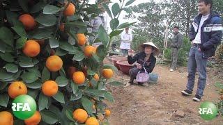 Toxic 'Tet' Kumquats Highlight Vietnam's Pesticide Problem