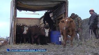 Федеральный грант помог привезти редкую для Колымы породу коров