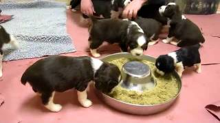 Springer Spaniel Puppies Playing, Eating And Being Cute 2