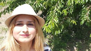 Organik Annem Bingöl Hacı'nın Yeri Aile Kır Bahçesinde Organik Kiraz Bahçelerini Keşfediyor