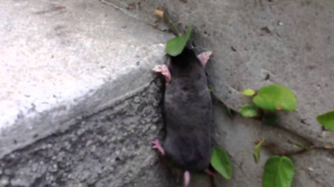 Baby Mole Climbs Stairs Youtube