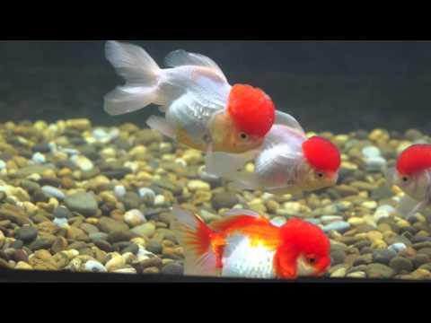 Amazing Red Cap Oranda Goldfish